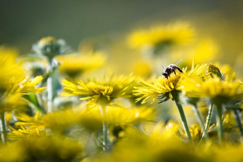 bij in bloemenzee, natuurfoto